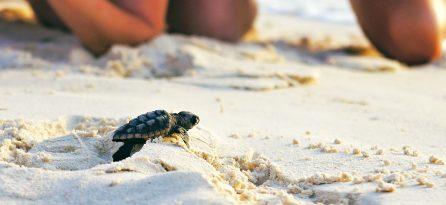 Sea Turtle Panama City Beach